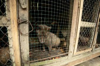 caged-civet