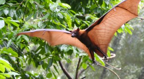 Do Bats Get Confused by Other Bats' Sonar?