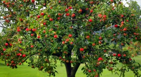 A Brief History of the Apple Tree
