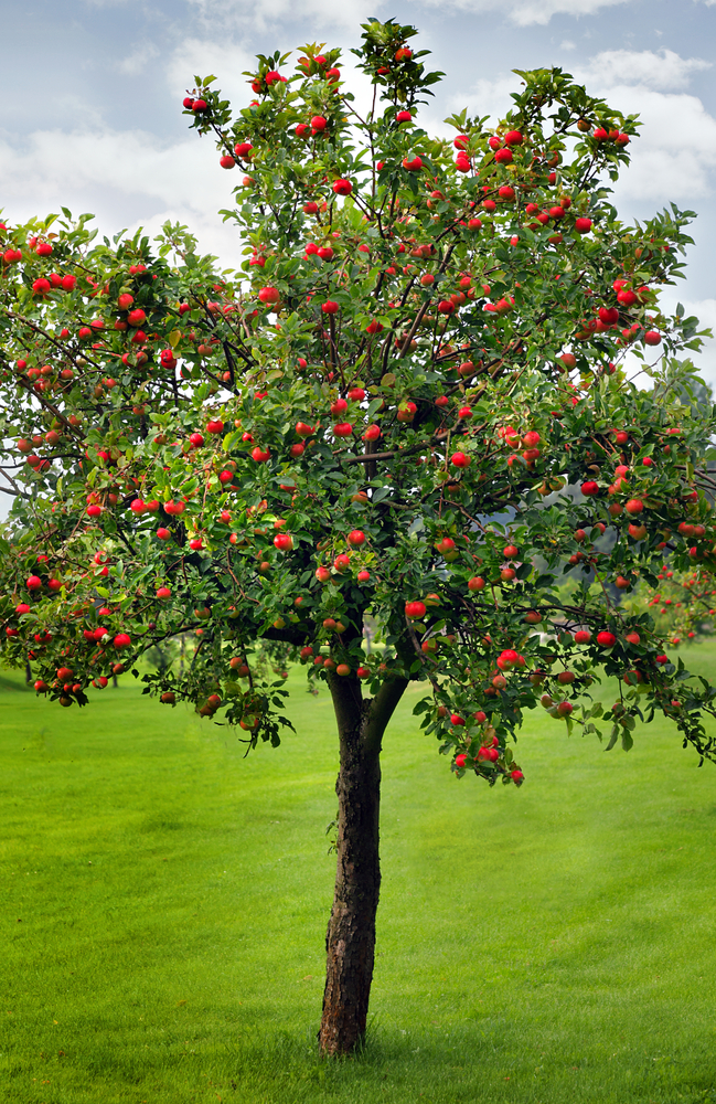 a brief history of the apple tree, Beautiful flower