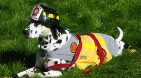 Why Dalmatians are Associated with Fire Fighters