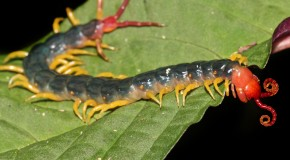 The Creepy Scolopendra Gigantea Centipede