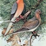 passenger-pigeon