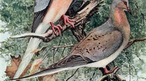 From Billions to Zero in 50 Years: The Extinction of the Passenger Pigeon