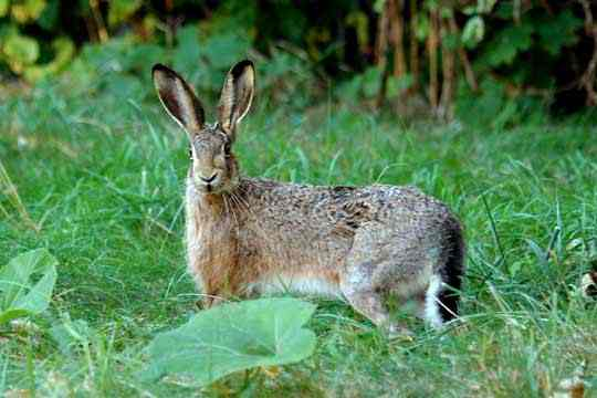 The Differences Between Rabbits And Hares