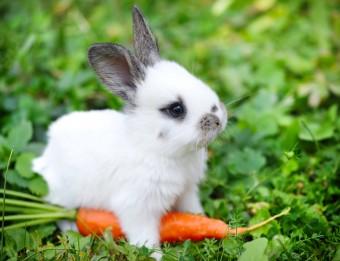 baby-bunny