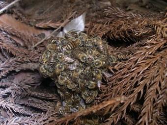 ball-hornet