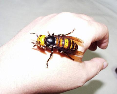 hornet kick start