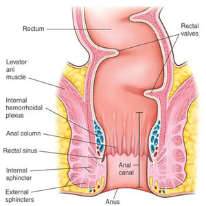 6-Diagram-of-the-Rectum