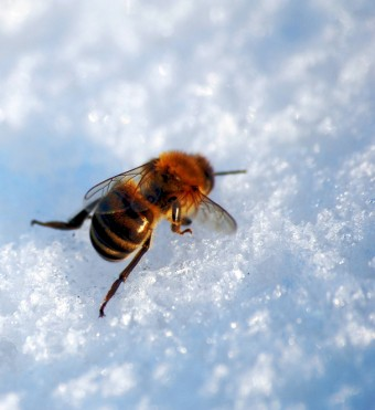 frozen-bee