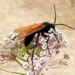 hawk-wasp