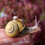 piggyback-snail-340x239