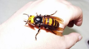 "The ""Kill It With Fire"" Asian Giant Hornet"