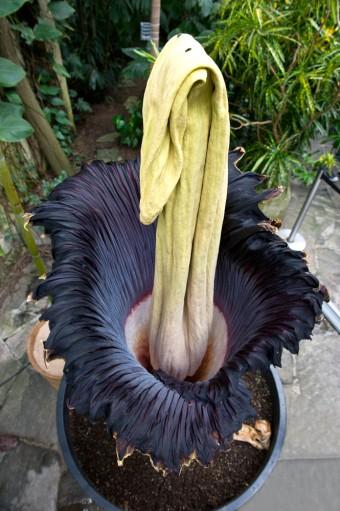 corpse-flower