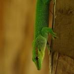 gecko-340x510