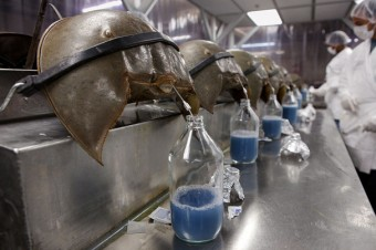 horseshoe-crab-blood