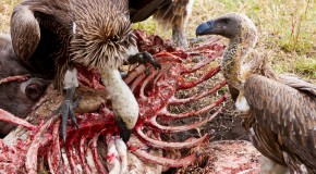 Why Don't Vultures Get Sick When Eating Dead Things?