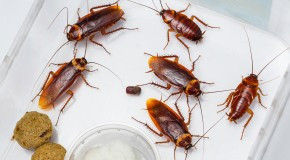 What Do Cockroaches Eat and Where Do They Live When There are No Houses Around?