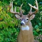 buck-340x405