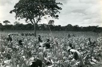 tobacco-farm2