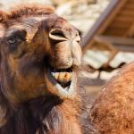 Arabian-Came