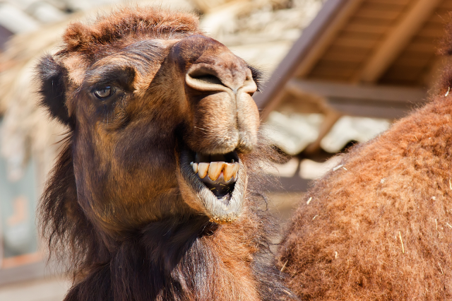 The Bizarre Mating Practices of the Arabian Camel