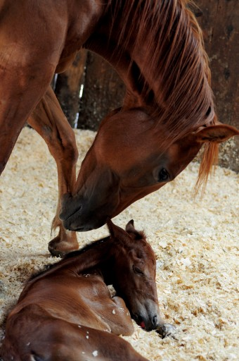 horse-birth