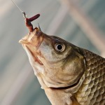 worm-bait