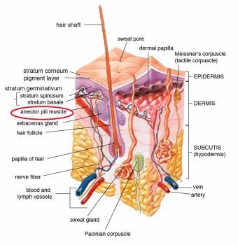 arrector-pili-muscle