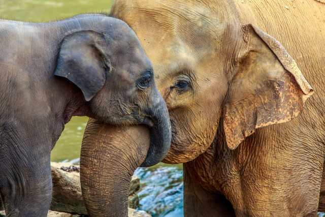 Why An Elephant S Nose Is Called A Trunk