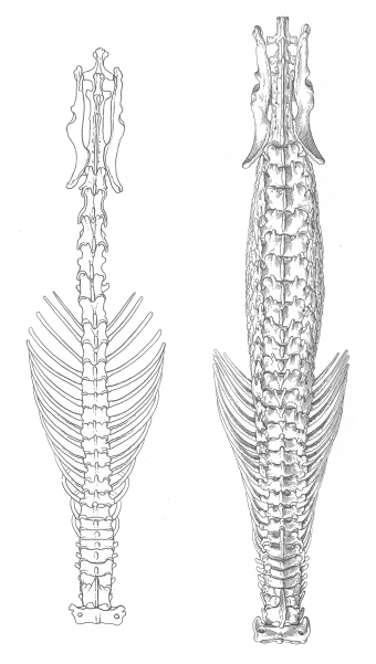White Tooth Shrew Spine vs. the Hero Shrew Spine (right)