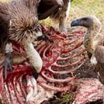 Vulture-340x226