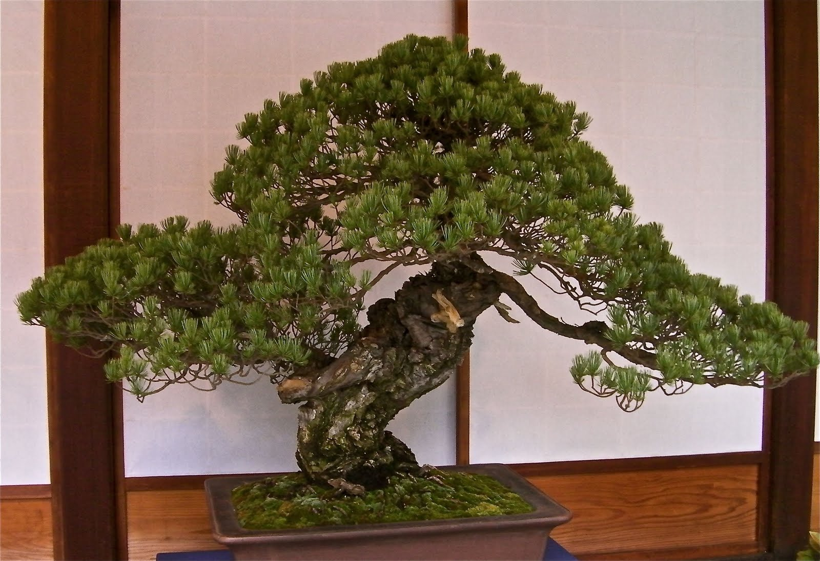 bonsai tree The bonsai is a delightful and fun plant to have around the home or office though it does need proper care and attention, don't let that intimidate you.