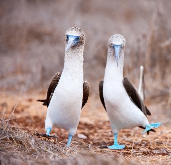 boobie-bird