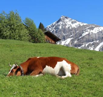 sleeping-cow