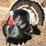 Tom Turkey In The Wild