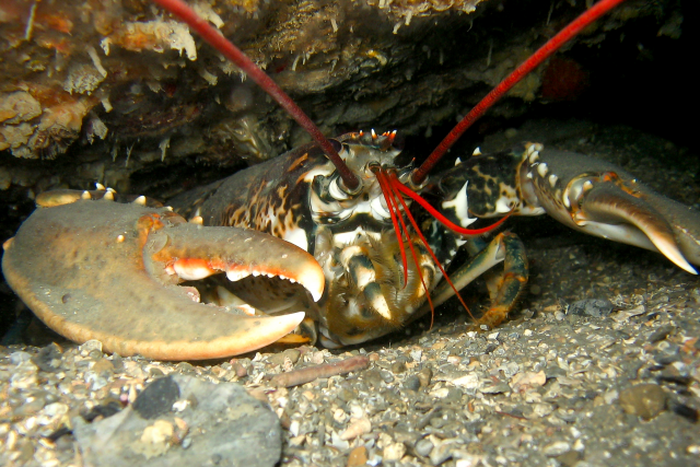 Can Lobsters Really Not Die of Old Age?