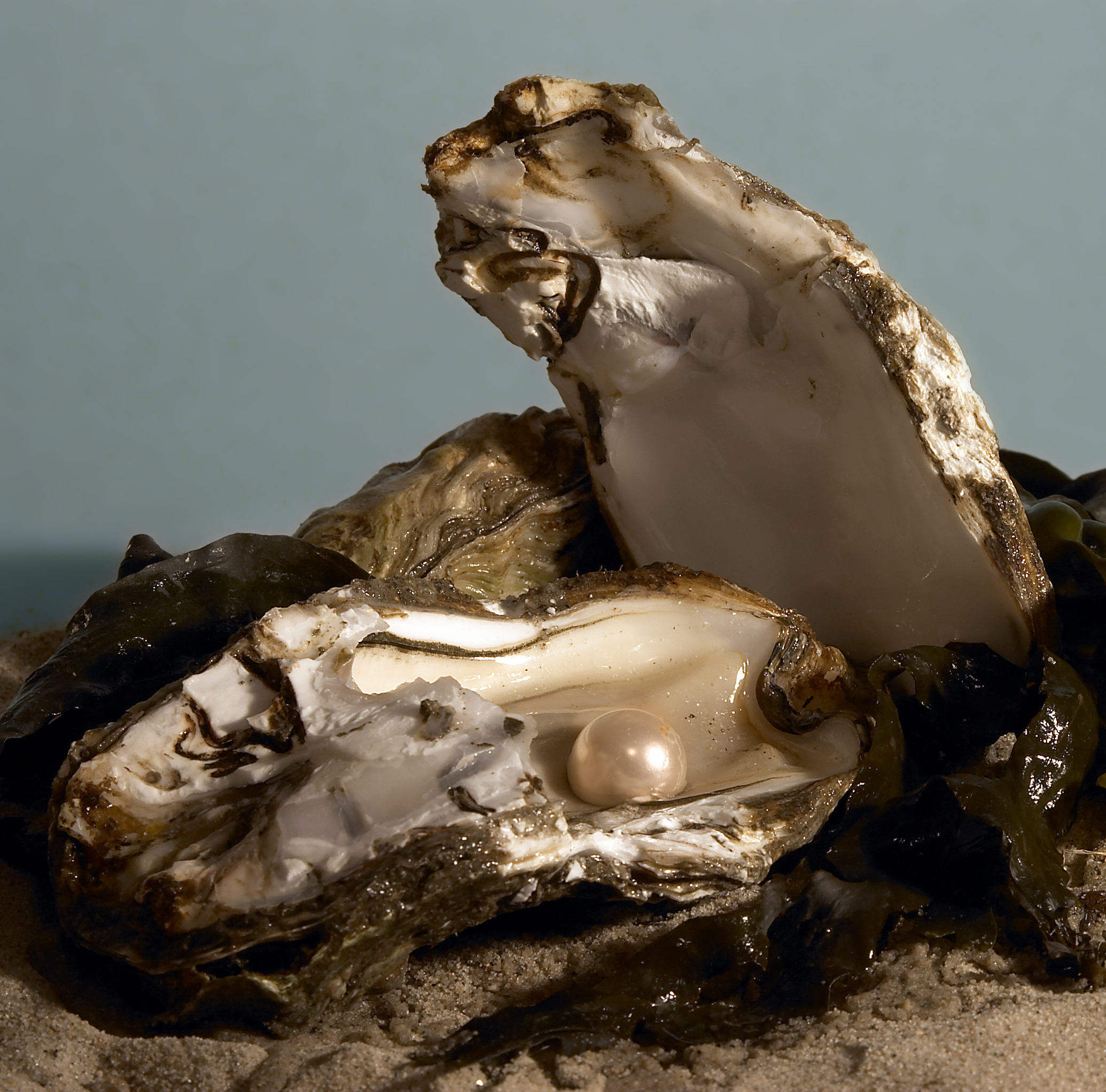 How and why oysters make pearls buycottarizona Images