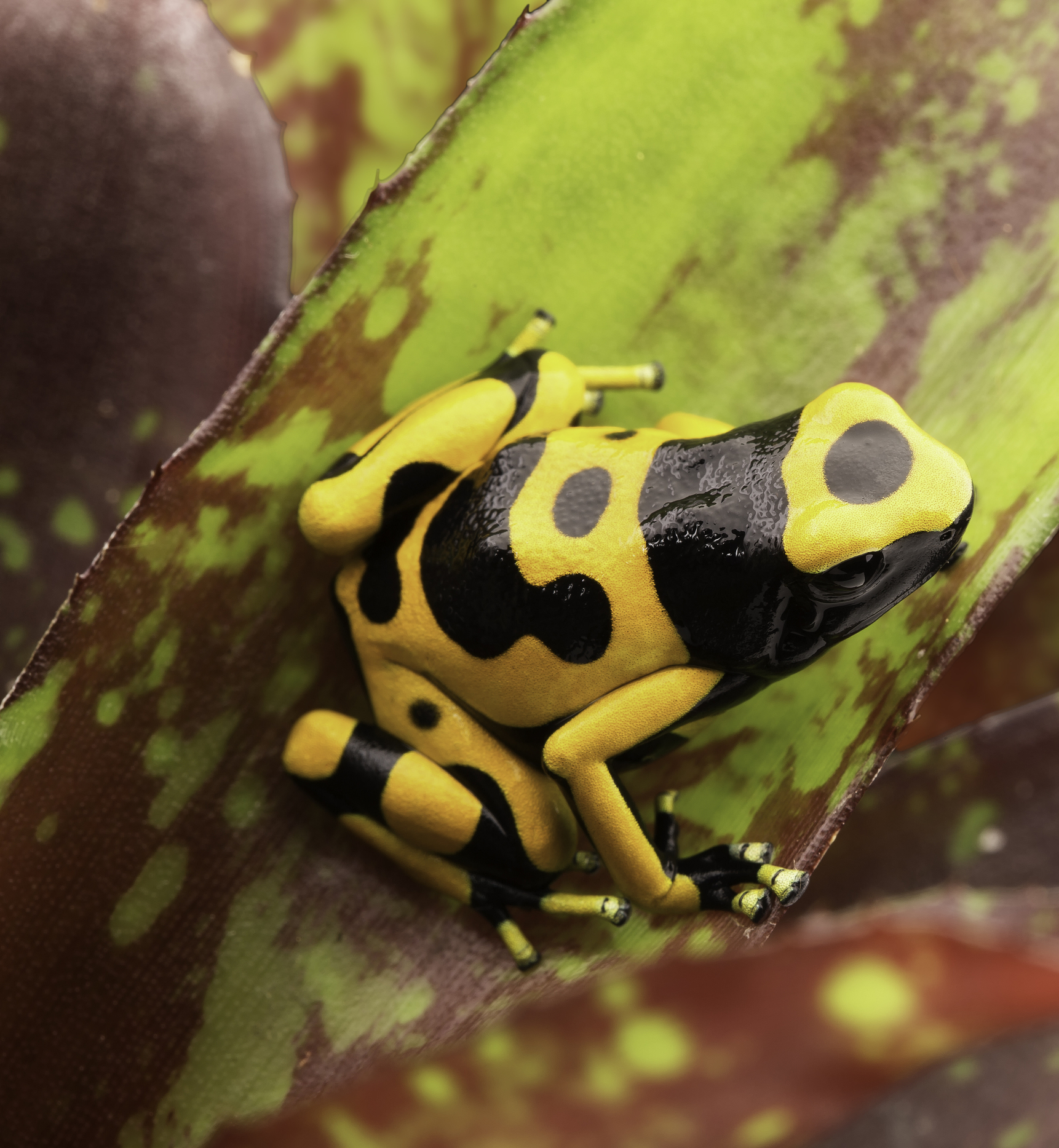why poison dart frogs raised in captivity lose their toxicity