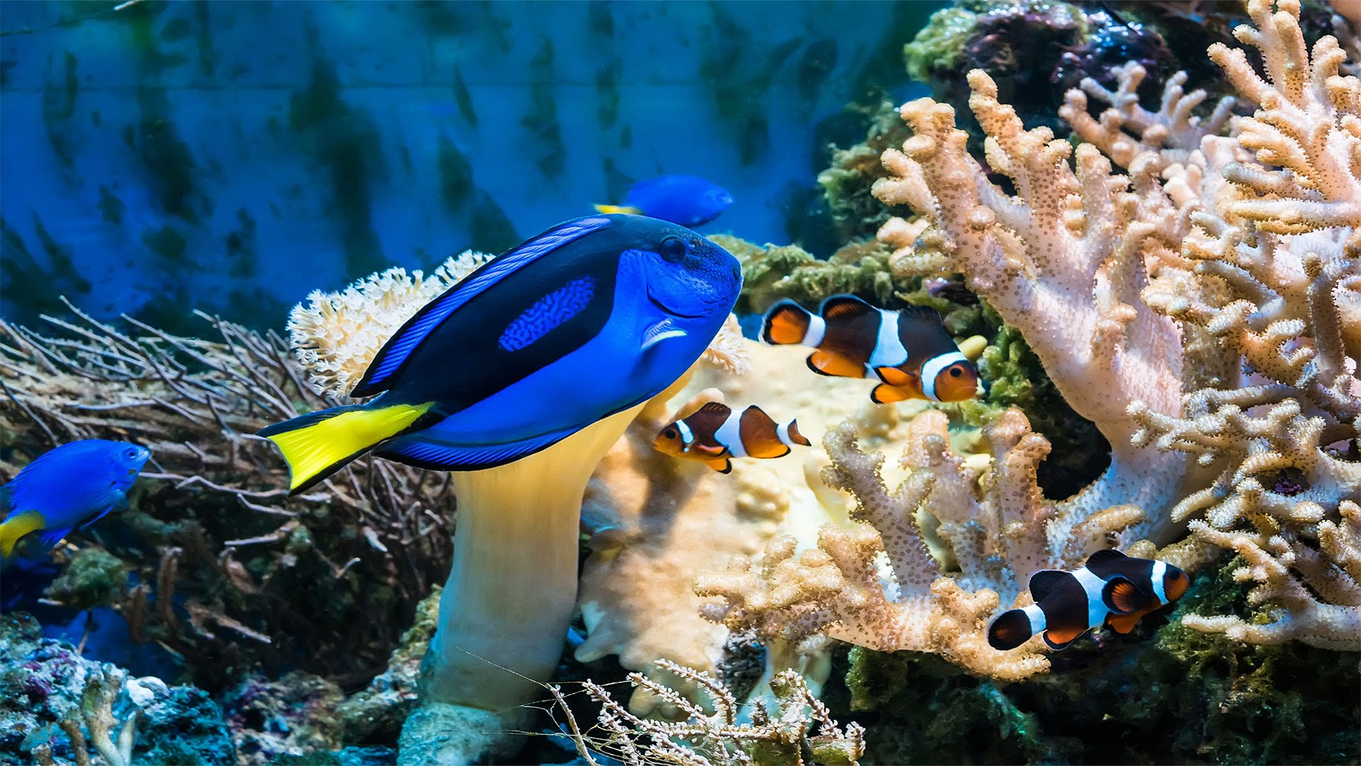 what do clown fish eat