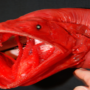 red-whalefish