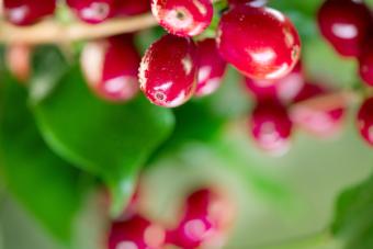 snozzberry