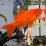 560px-Goldfish3-340x364