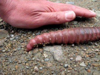 Giant Earthworm