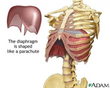 Thoracic Diaphragm