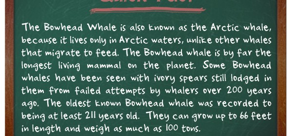 TIFO Quick Fact- Bowhead whale fact