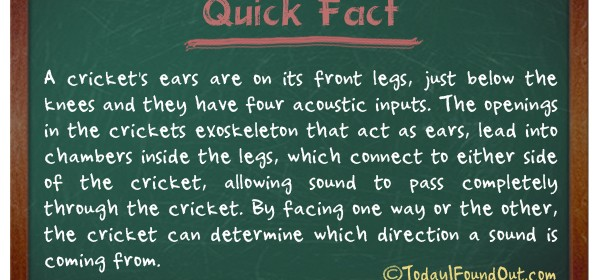 TIFO Quick Fact- Cricket insect Fact