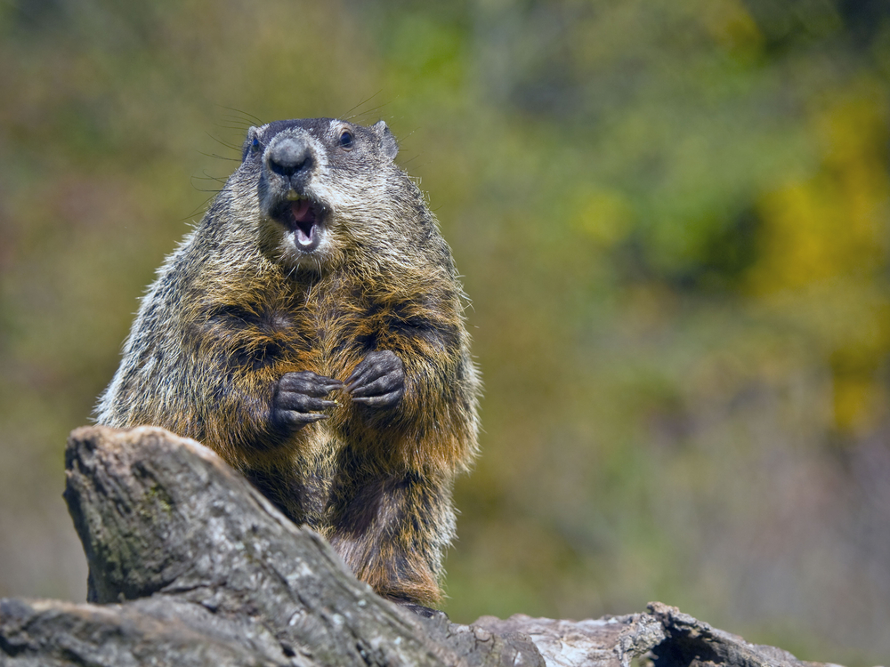 How Groundhog Day Got Started