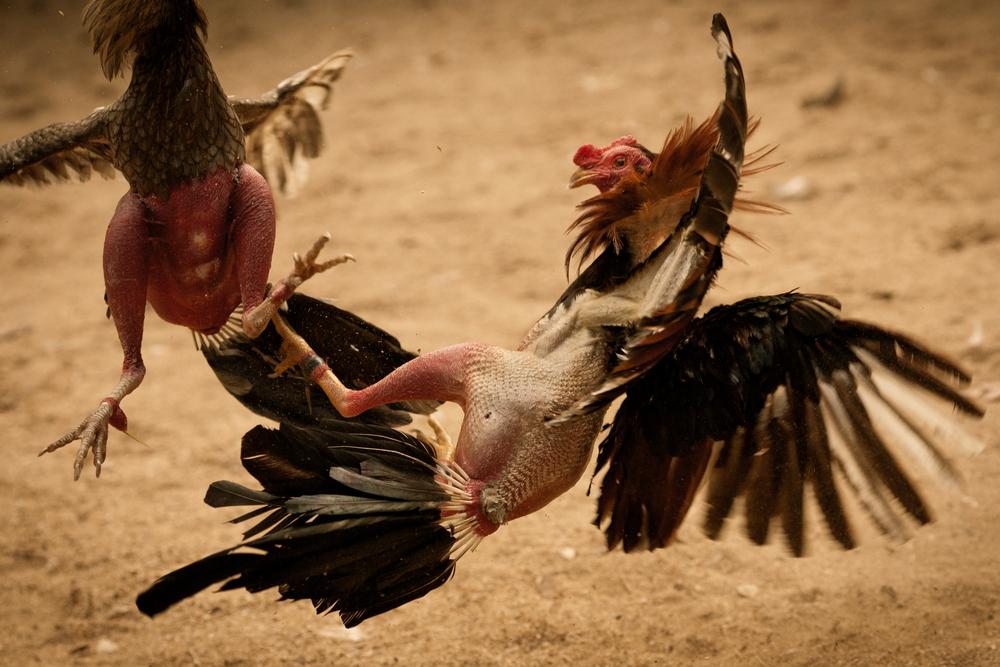 Weehingthong on cockfights