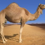 Copy-of-Arabian-Camel-800x600-e1278615061190